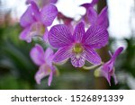 Dendrobium Is A Genus Of Mostl...
