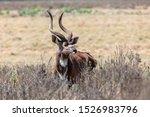 majestic male of endemic very rare Mountain nyala, Tragelaphus buxtoni, big antelope in Bale mountain National Park, Ethiopia, Africa widlife