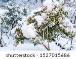 Sweet Orange  Citrus Sinensis ...
