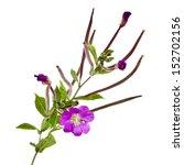 Blooming Purple Willow Herb...