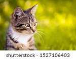 Stock photo gray brown striped kitten with a white breast on a yellow background pet walks in the yard home pet 1527106403