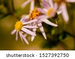 Arctic Aster wildflowers growing in the Chequamegon National Forest.