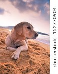 Stock photo a lovely dog in the sand 152770904