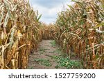 Inside A Corn Field Maze With ...