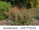 summer flowering californian...
