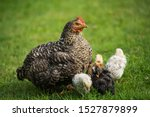 Hen With Chicks In A Meadow