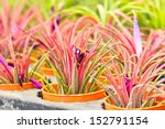 Tillandsia In The Market Flower