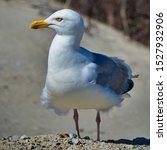 Stock photo single european herring gull on heligoland island dune north beach larus argentatus 1527932906