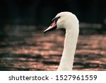 Head And Neck Of A Swan During...