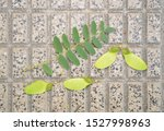 Leaves And Seed Pods Of...
