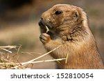 black tailed prairie dog ... | Shutterstock . vector #152810054