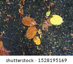 Stock photo yellow brown tropical tree lifeless leave falling in garden after a rainy night selective focus for 1528195169