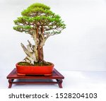 Chinese Pine Bonsai Tree...