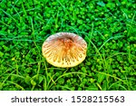 Mushrooms In The Lawn....