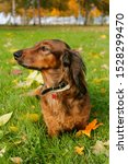 Stock photo dachshund dog sitting in autumn park 1528299470