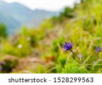 Phyteuma Orbiculare In Tatra...