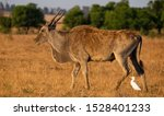 An Eland Antelope And A Cattle...