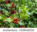 Close Up Of The Red Berries And ...