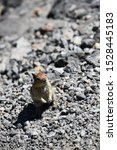 Golden Mantled Squirrel Found...