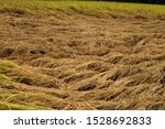 Paddy fields damaged by brown plant hoppers in Japan