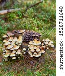 Small photo of Several woodland mushrooms, Hypholoma Fasciculare, known as the sulphur tuft, sulfur tuft or clustered woodlove, growing together in large flocks on a dead rotting tree stump.