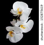 Stock photo white orchids flowers on a black background 152875619