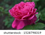 Inflorescence Of Pink Rose...