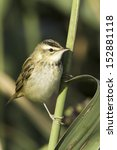 Small photo of Sedge warbler standing on the reed and observing close-up / Acrocephalus schoenobaenus