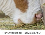 Close Up Of Cow Muzzle Eating...