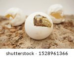 Stock photo  africa spurred tortoise are born naturally tortoise hatching from egg cute portrait of baby 1528961366