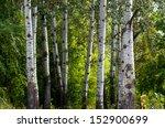 The Trunks Of Poplar Light Color