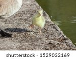 A Canada/Emden Goose hybrid gosling walking by its mother at sunrise