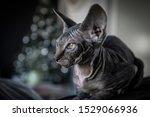 Stock photo sphynx kitten around the christmas tree 1529066936