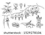 sketch floral. bleeding heart...