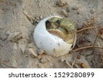 Stock photo close up baby tortoise hatching african spurred tortoise birth of new life cute baby animal 1529280899