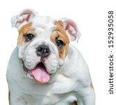 English Bulldog   Isolated  On...