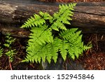 Forest Ferns And Fallen Log