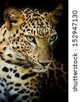 leopard portrait | Shutterstock . vector #152947130