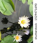 Stock photo white petal lotus flower in a pond with yellow pollen and purple petal at the edge of petal with 1529471690