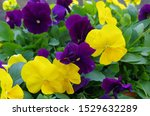 Purple And Yellow Pansy Flowers ...