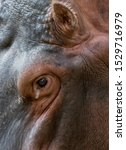 Head Of An Hippopotamus With...