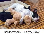 Stock photo french bulldog puppy sleeping with teddy bear 152976569
