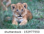 Stock photo cute two week old baby lion from rekero pride in masai mara it still has the birth eye color 152977553