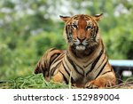 close up bengal tiger | Shutterstock . vector #152989004
