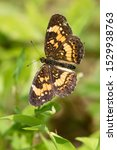 A Silvery Checkerspot Perching...