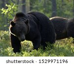 Brown Bear In The Summer Fores...