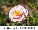 A Shropshire Lad Rose Flower I...