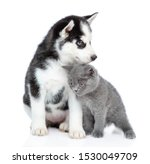 Stock photo siberian husky puppy and cute british kitten sitting together isolated on white background 1530049709