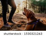 Stock photo silhouette of labrador dog with open mouth sitting in the forest and looking up at his owner at 1530321263