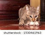 A ginger cat hunting a mouse. Domestic cat carrying small rodent rat in house. Close up ginger cat catching a mouse.